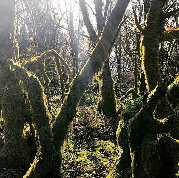Mossy trees with the sun shining through them